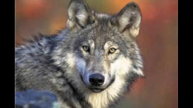 Mexican gray wolf released into the wild in Arizona has been recaptured