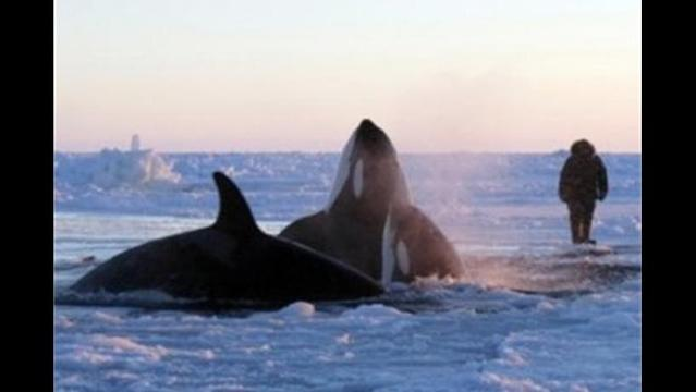 One US company has vowed to help orca whales trapped by Canadian ice