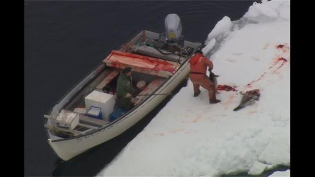 Why Canada still slaughters baby seals