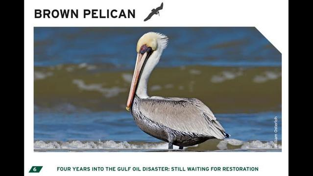 BP oil spill continues to kill wildlife 4 years later, new report says