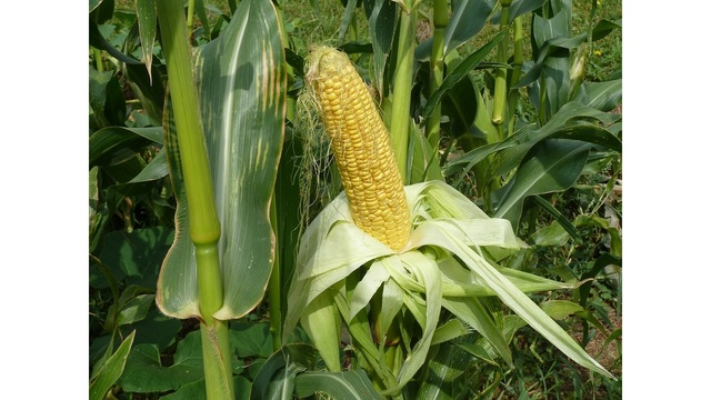 Sweet corn for July 4th?